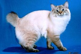 Tortie Cat American Bobtail